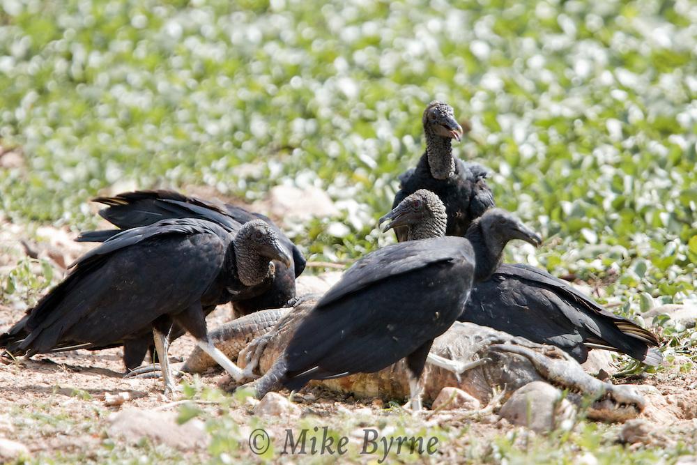 Black Vultures (Coragyps atratus) feed on a caiman carcass near Araras Eco Lodge (Pantanal, Mato Grosso, Brazil)