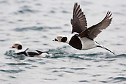 Long-tailed Ducks, Clangula hyemalis, male, Lake Ontario, Ontario, Canada