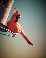 Male Northern Cardinal. Image taken with a Nikon D5 camera and 600 mm f/4 VR telephoto lens (ISO 160, 600 mm, f/4, 1/500 sec).