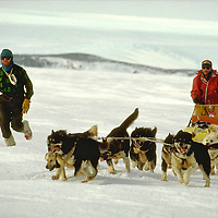 Huskies - working sled dogs