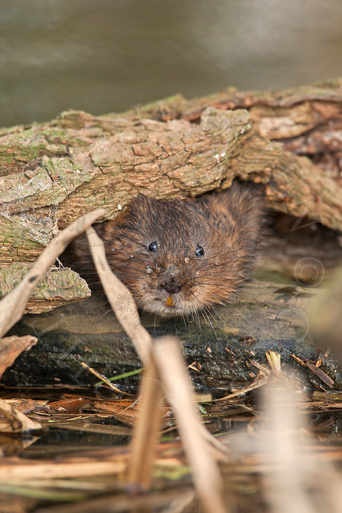 Water Vole (Arvicola terrestris) adult on submerged branch in dyke, Norfolk, UK.