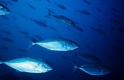 Peixes no Oceano Pacifico / Fish in the Pacific Ocean
