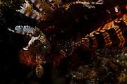Redfin dwarf lionfish (Dendrochirus brachypterus); venomous; Budlaan Island; Danajon Bank, Bohol, Philippines © Michael Ready / iLCP