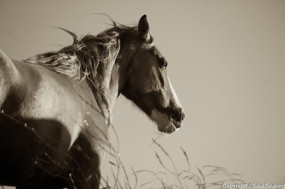 Wild Mustang, California