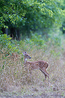 A PAIR OF WHITE TAILED DEER FAWNS