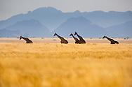 Giraffes crossing grassy plains, Giraffa camelopardalis, Namib-Naukluft National Park, Namibia