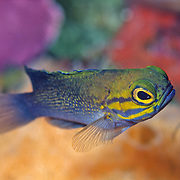 Yellowcheek Basslet inhabit deep walls in Bahamas and Caribbean; picture taken Little Cayman.