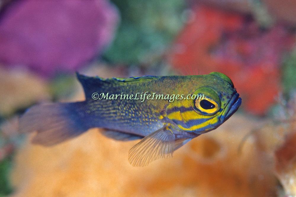 Yellowcheek Basslet inhabit deep walls in Bahamas and Caribbean; picture taken Little Cayman.