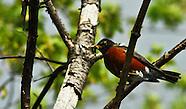Ohio American Robins