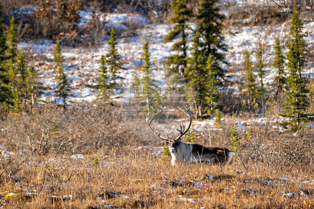 A male caribou reindeer rests on a snow dusted slope in Denali National Park, McKinley Park, Alaska.