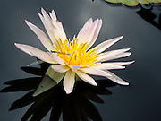 Soft pink water lily with a dragon fly resting for a moment on a flower petal.<br /> © Laurel Smith