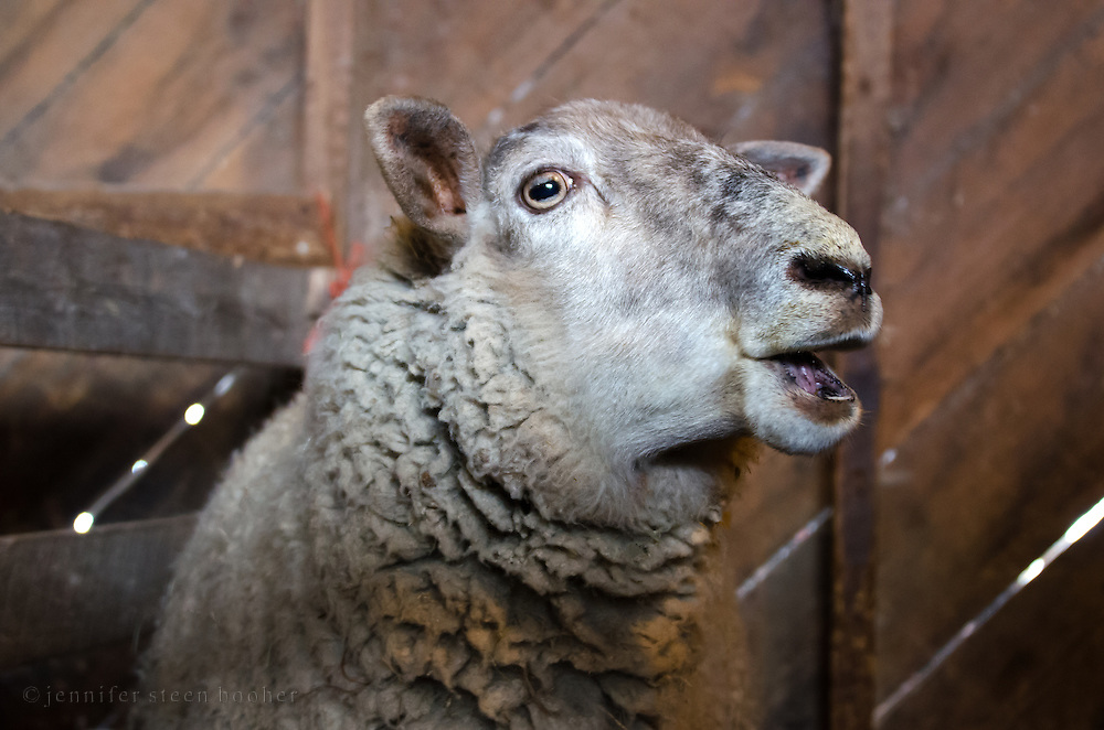 Ewe / female sheep with open mouth and odd expression.