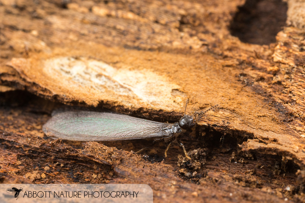 Eastern Subterranean Termite (Reticulitermes flavipes) alate<br /> United States: Alabama: Tuscaloosa Co.<br /> Tulip Tree Springs off Echola Rd.; Elrod<br /> 18-Nov-2017<br /> J.C. Abbott #3010