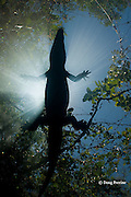 silhouette of Morelet's crocodile, Central American crocodile, or Belize crocodile, Crocodylus moreletii,  resting at surface of cenote, or freshwater spring, near Tulum, Yucatan Peninsula, Mexico