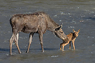 The moose cow tries a little nudge to get her calf into the water.
