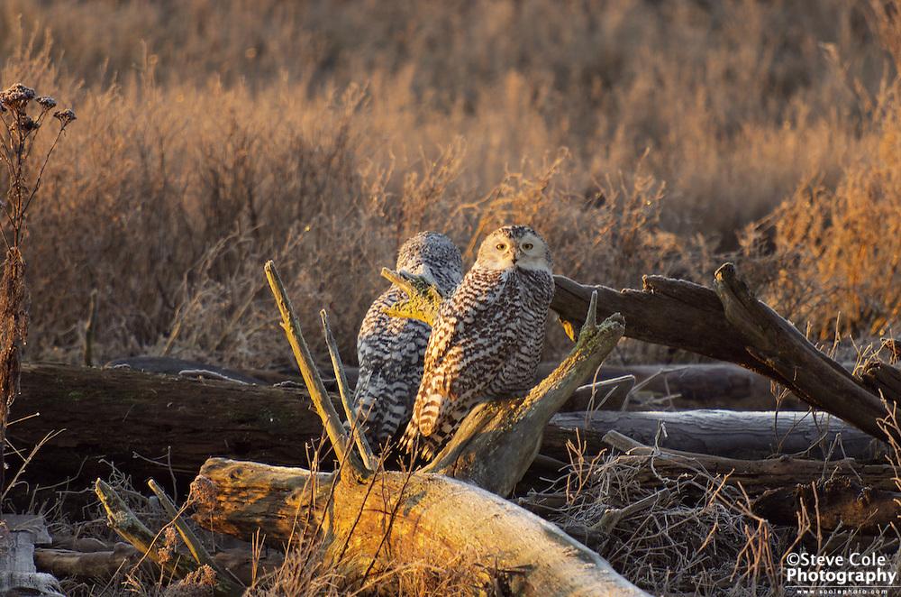 Snowy Owl 02 - Boundary Bay, British Columbia