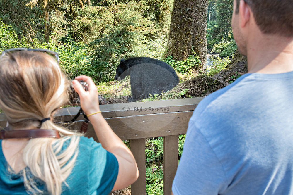 An adult American black bear sits next to the bear observation platform as visitors snap photos at Anan Creek in the Tongass National Forest, Alaska. Anan Creek is one of the most prolific salmon runs in Alaska and dozens of black and brown bears gather yearly to feast on the spawning salmon.
