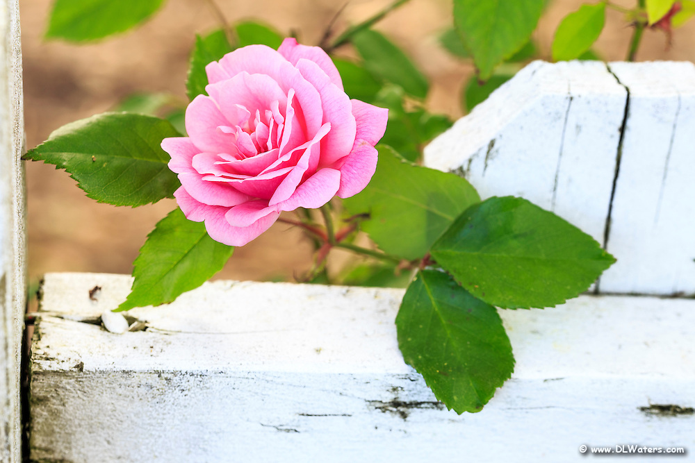 A pink rose against a white picket fence, photographed in Corolla on the Outer Banks of North Carolina.