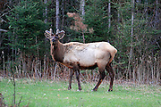 A bull elk grazes in Wisconsin's Special Elk Management Area near Clam Lake.