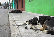 Street dogs of Cerro Bellavista, Valparaiso.