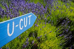United States, Washington, Sequim, u-pick farm at annual Lavender Festival