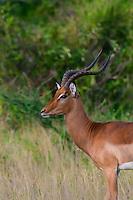 Impala, Nxai Pan National Park, Botswana.