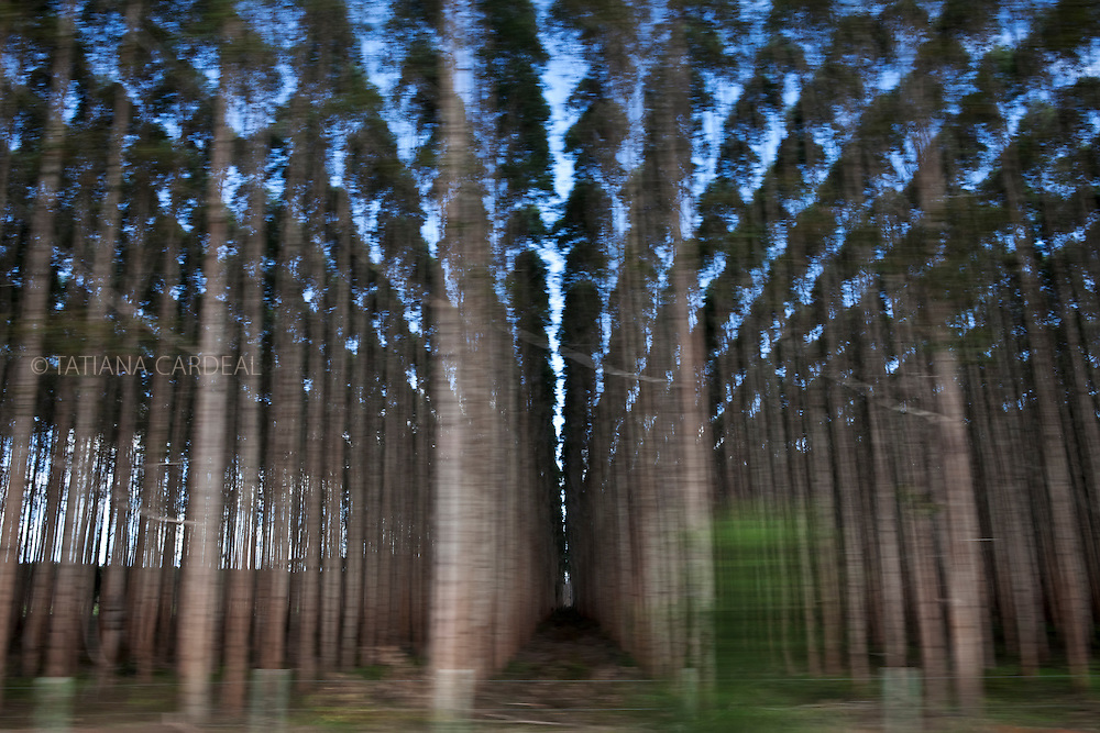 Eucalyptus plantations cover much of the fertile lands of southern Bahia State and northern Espírito Santo State.<br /> Eunápolis town, Bahia State - Brazil.<br /> <br /> Plantações de eucaliptos cobrem boa parte das terras férteis do sul da Bahia e do norte do Espírito Santo.<br /> Eunápolis, BA - Brasil.