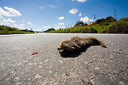 Itaguara_MG, Brasil...Animal morto na rodovia...The died animal on the motorway...Foto: LEO DRUMOND / NITRO.