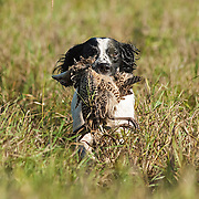 Photography from the Wisconsin English Springer Spaniel Association (WESSA) Hunt Test, Labor Day weekend, 2014.  The event took place at the Bong Recreation Area in Burlington, WI.