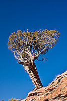 A Utah Juniper tree (Juniperus osteosperma) growing on a sandstone ledge.  Colorado National Monument.  Colorado, USA.