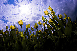 July 21, 2019 - Tulips And Sky (Credit Image: © Richard Wear/Design Pics via ZUMA Wire)