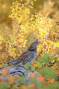 Ruffed Grouse Calls in Brilliant Fall Colors