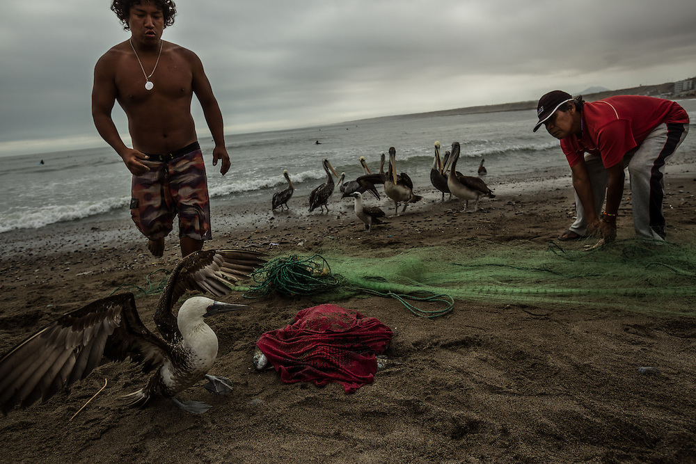 HUANCHACO, PERU - JULY 14, 2014: Joel Uca&ntilde;an Arzola, 24, chases away birds trying to steal fish from his nets after going to get them in his caballito boat. Uca&ntilde;an is also a local longboard surf champion and runs a surf school with three of his brothers. Going to sea in small reed boats has become almost entirely an old man&rsquo;s occupation: the sons and grandsons of the local fishermen are becoming surfing instructors, construction workers and policemen, taking jobs on larger fishing boats or going abroad in search of better pay. <br /> &ldquo;It seems like we&rsquo;re the last generation,&rdquo; said Luis Urcia, who at 30 is one of the youngest of the fishermen who go out regularly on the caballitos. &ldquo;A fisherman&rsquo;s life is tough that&rsquo;s why the young people don&rsquo;t want to do it. They&rsquo;d rather have a profession and health insurance and a bank account.&rdquo;<br /> PHOTO: Meridith Kohut for The New York Times