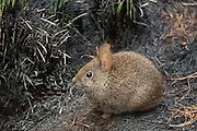 Volcano Rabbit (Romerolagus diazi).La Cima, Distrito Federal.MEXICO..ENDANGERED- IUCN   ver 2.3 (1994)