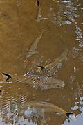 Cuti fish<br /> (Cyphocharax  ??)<br /> Rewa River<br /> Rainforest<br /> GUYANA. South America<br /> Lives in tree hole