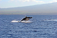 Pacific Humpback Whale off the coast of Maui Hawaii in the Central Pacific Ocean, Breach