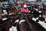Calves<br /> Calpi Market<br /> Chimborazo Province<br /> Andes<br /> ECUADOR, South America