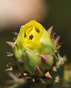 Prickly pear flower net yet fully open.