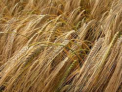 UK ENGLAND NORFOLK HINDOLVESTON 20JUL08 - Field of Barley near Hindolveston, north Norfolk, England...jre/Photo by Jiri Rezac..© Jiri Rezac 2008..Contact: +44 (0) 7050 110 417.Mobile:  +44 (0) 7801 337 683.Office:  +44 (0) 20 8968 9635..Email:   jiri@jirirezac.com.Web:    www.jirirezac.com..All images © Jiri Rezac 2008. All rights reserved.