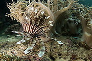 Common Lionfish (Pterois volitans)<br /> Raja Ampat<br /> West Papua<br /> Indonesia
