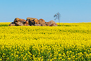 Rock outcrop in field of flowering canola crop in rural country Victoria, Australia.