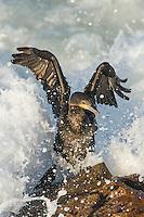 Cape Cormorant amongst breaking waves, Bettys Bay, Western Cape, South Africa