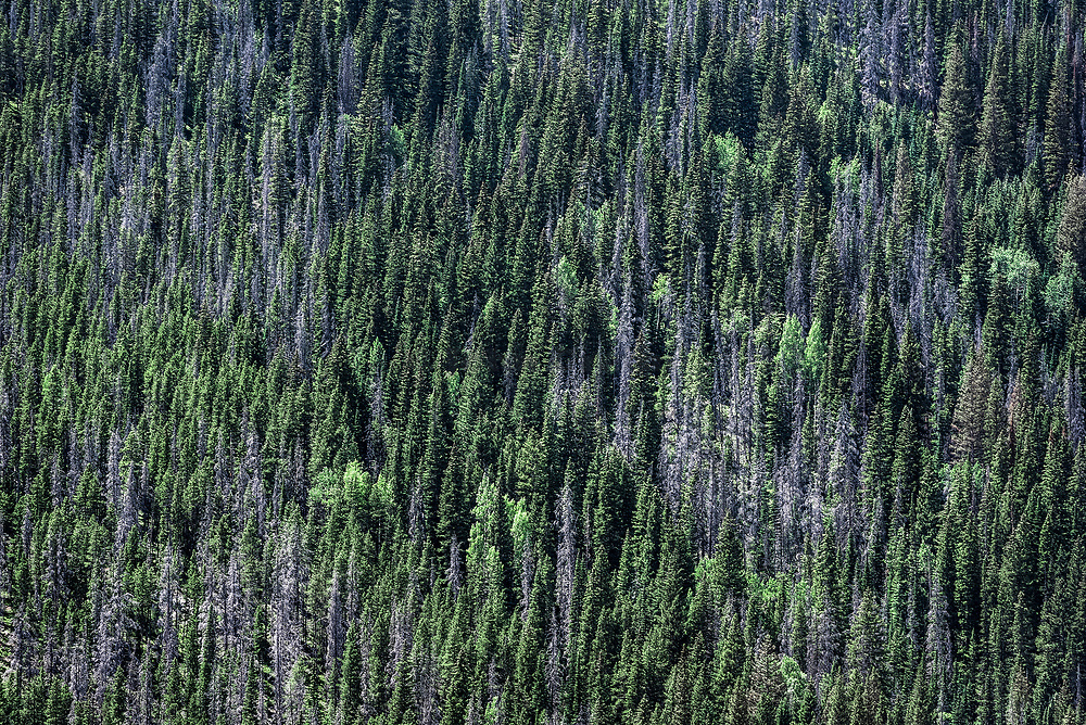 Dense stand of mountainside trees, Rocky Mountain National Park, Colorado, USA.