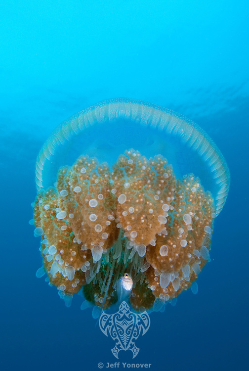 Juvenile Trevally and Sea Jelly.Shot in West Papua Province, Indonesia