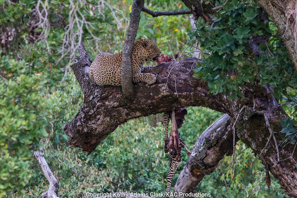 Leopard, Panthera pardus, feeding on a zebra in a tree, near the Buffalo Luxury Camp, in northern Tanzania.