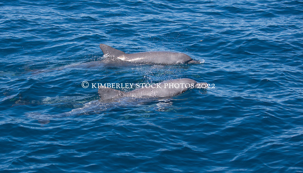 A pair of Bottlenose dolphins (Tursiops aduncus) off Lombadina on the Dampier Peninsula, north of Broome.