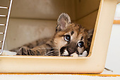 Puma Rescue