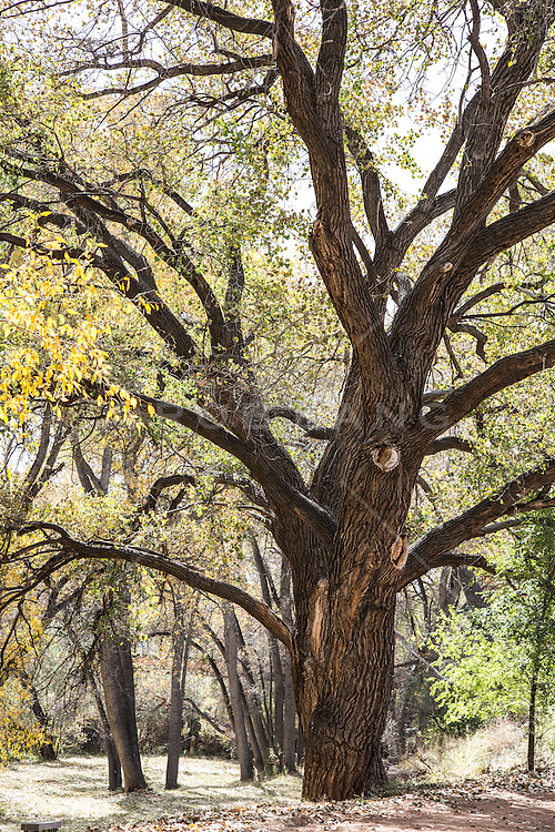 Cottonwood Trees in New Mexico