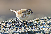 Pipit, Glenorchy, New Zealand