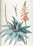 Hand painted botanical study of an Aloe Vera plant anatomy from Fragmenta Botanica by Nikolaus Joseph Freiherr von Jacquin or Baron Nikolaus von Jacquin (printed in Vienna in 1809)
